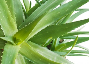 Our Top Reasons to Buy Aloe Vera Plant for Home