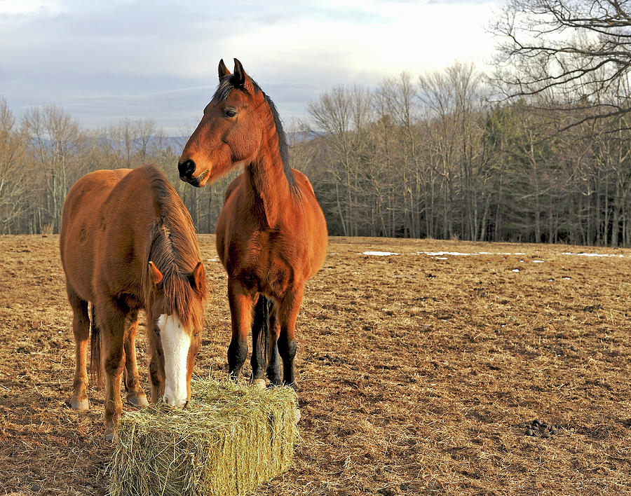 horses-eating-hay-in-country-field-in-driendl-group